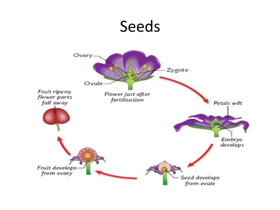Seed Anatomy There are 2 different types of seeds that get produced by flowering plants.