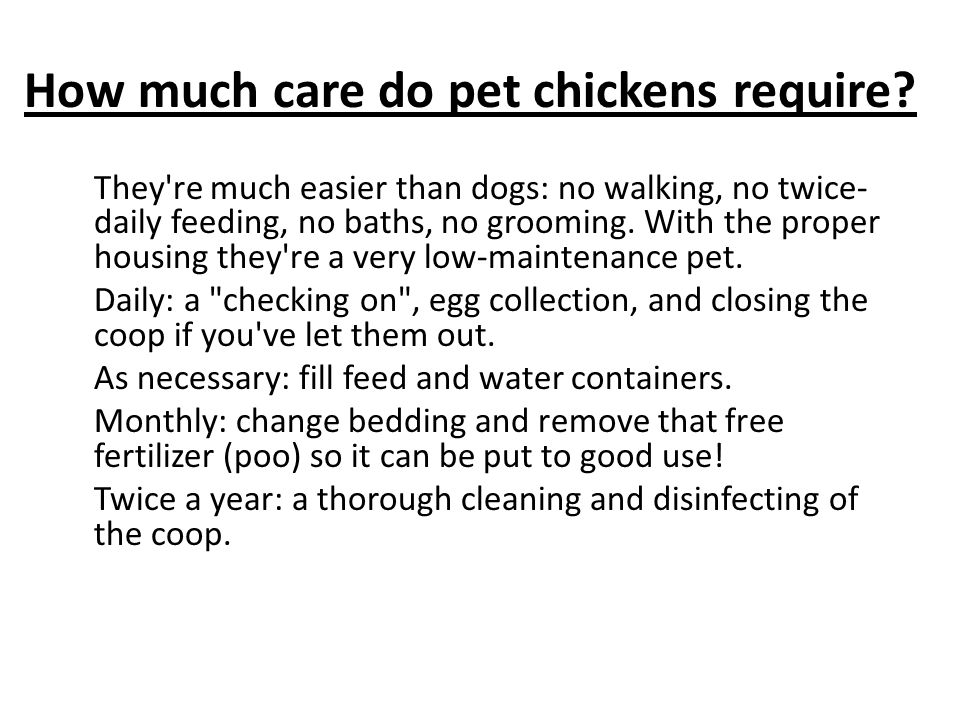 How much care do pet chickens require? They're much easier than dogs: no walking, no twice- daily feeding, no baths, no grooming. With the proper hous