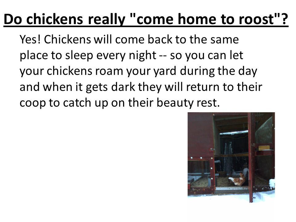 Do chickens really