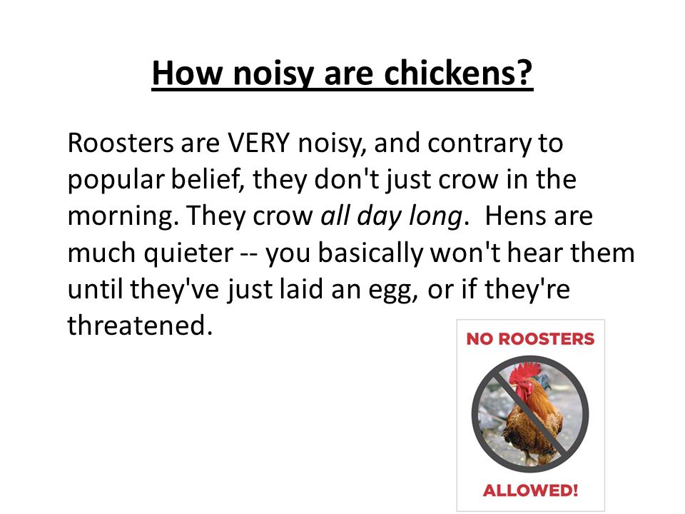 How noisy are chickens? Roosters are VERY noisy, and contrary to popular belief, they don't just crow in the morning. They crow all day long. Hens are