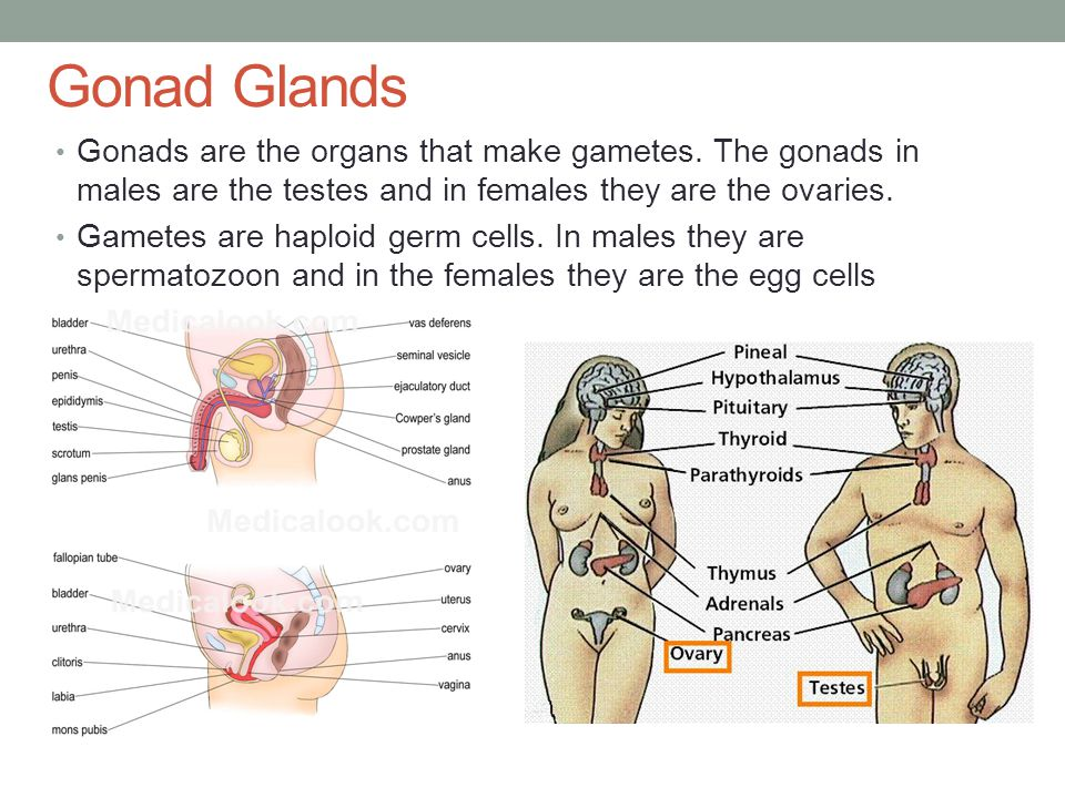Concept Check 1.The gonad in males is/are A) testosterone B) ovaries C) Testes D) Scrotum 2.