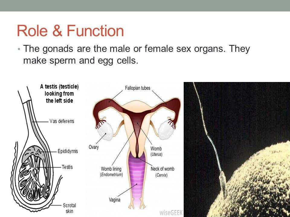 Hormones Females: estrogen and progesterone Males: testosterone androsterone