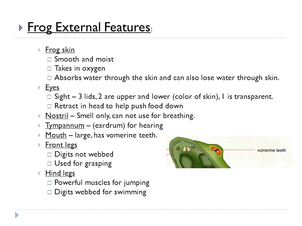 Frog External Features : Frog skin Smooth and moist Takes in oxygen Absorbs water through the skin and can also lose water through skin. Eyes Sight –