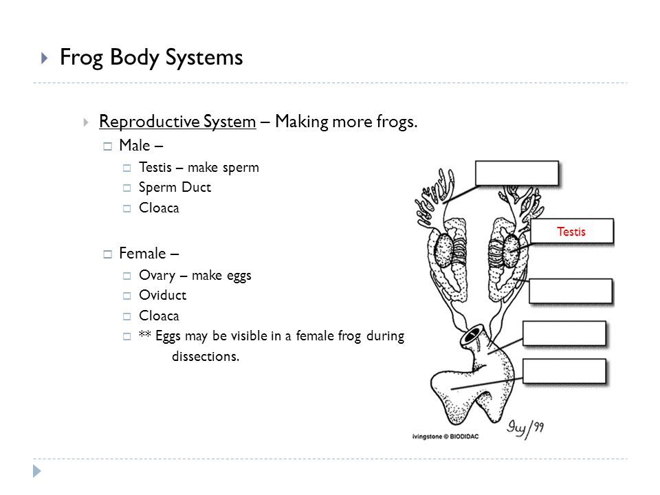 Frog Body Systems Reproductive System – Making more frogs. Male – Testis – make sperm Sperm Duct Cloaca Female – Ovary – make eggs Oviduct Cloaca ** E