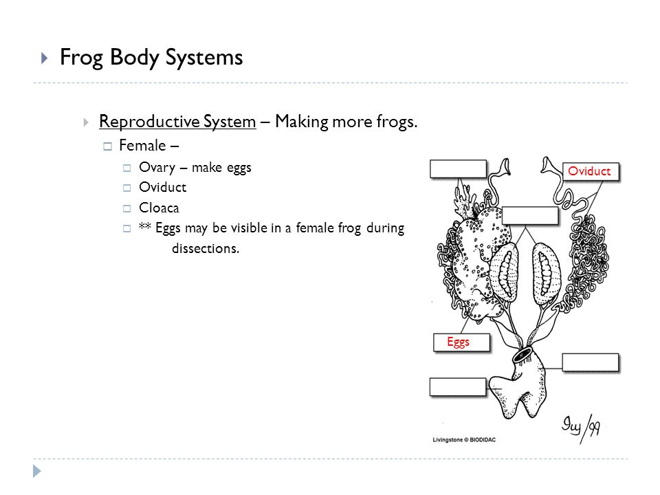 Frog Body Systems Reproductive System – Making more frogs. Female – Ovary – make eggs Oviduct Cloaca ** Eggs may be visible in a female frog during di