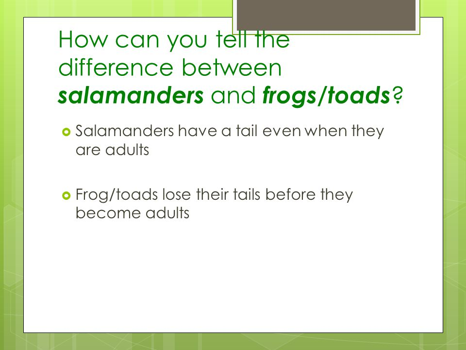 How can you tell the difference between salamanders and frogs/toads ? Salamanders have a tail even when they are adults Frog/toads lose their tails be