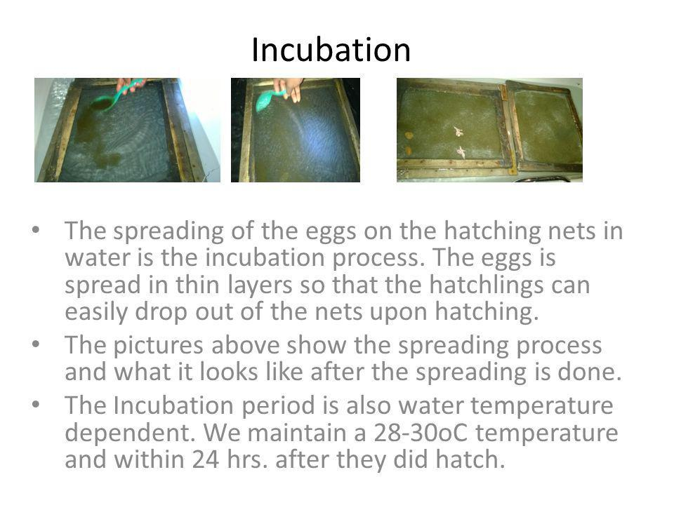 Incubation The spreading of the eggs on the hatching nets in water is the incubation process. The eggs is spread in thin layers so that the hatchlings