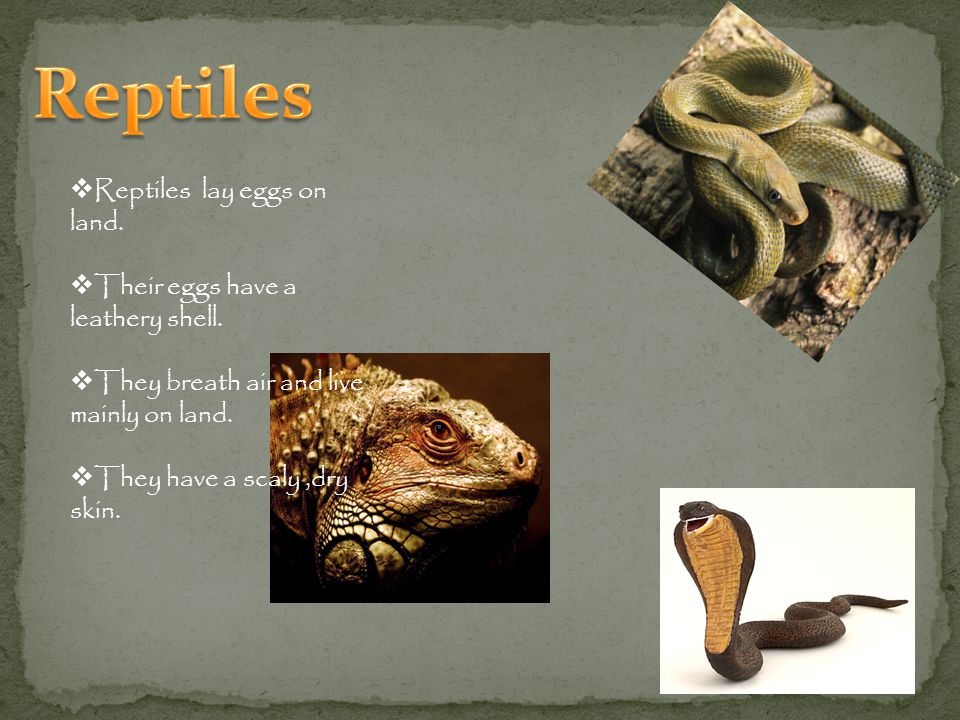 Reptiles lay eggs on land.Their eggs have a leathery shell.