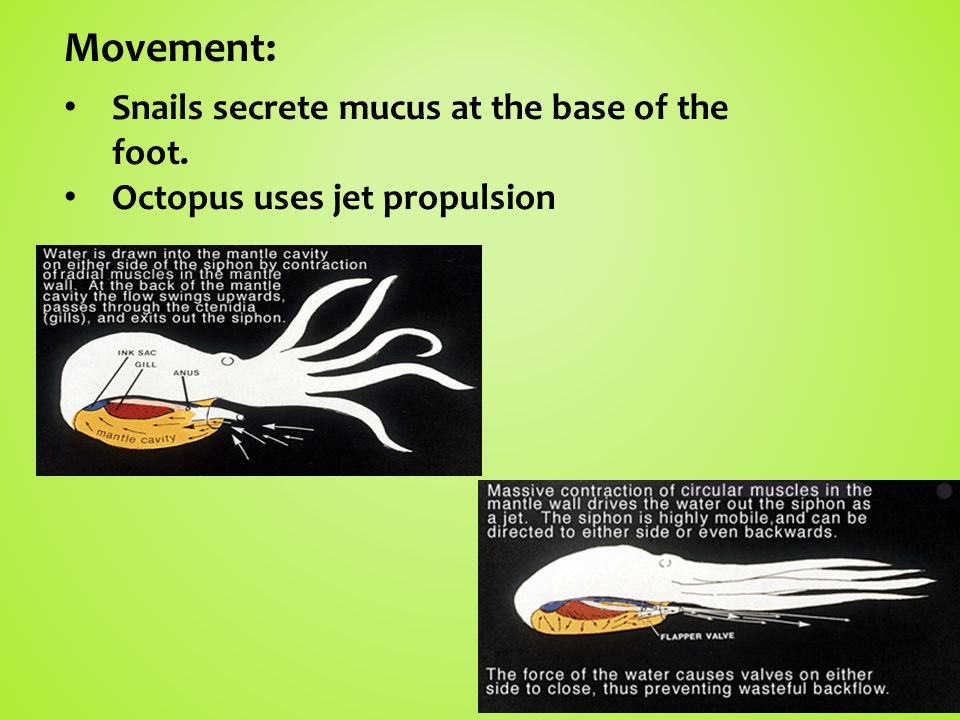 Movement: Snails secrete mucus at the base of the foot. Octopus uses jet propulsion