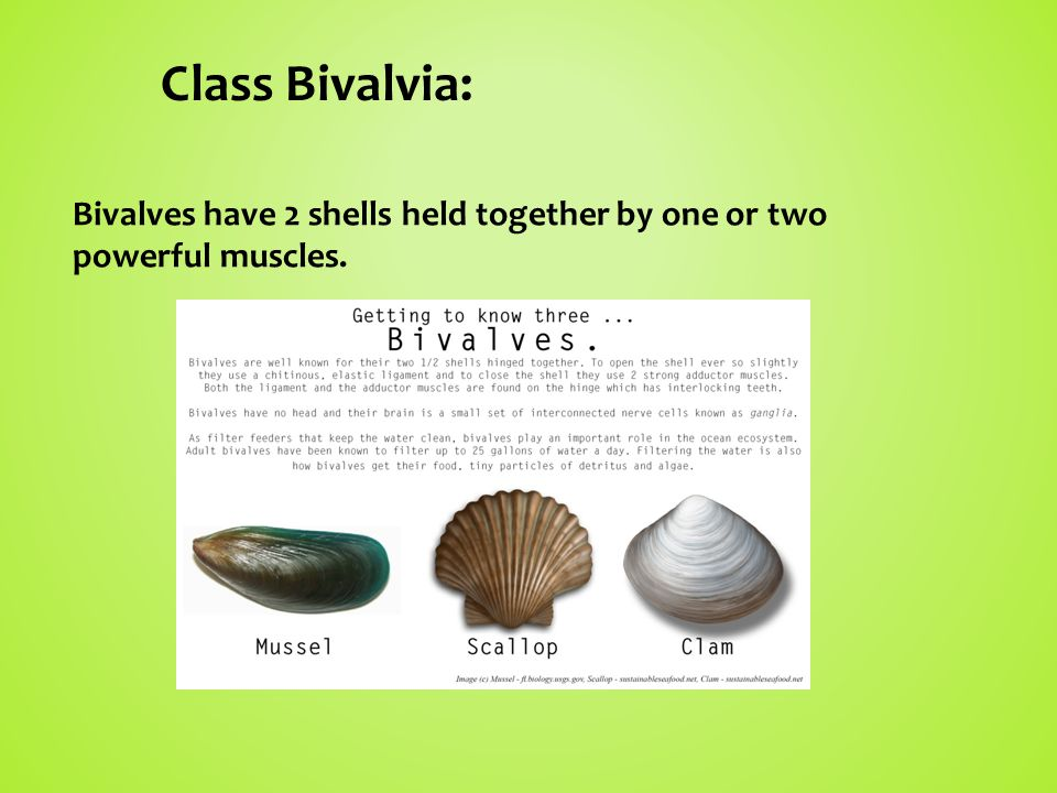 Class Bivalvia: Bivalves have 2 shells held together by one or two powerful muscles.