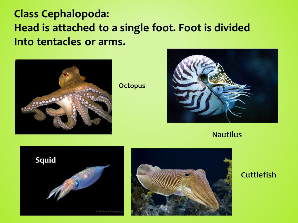Class Cephalopoda: Head is attached to a single foot.