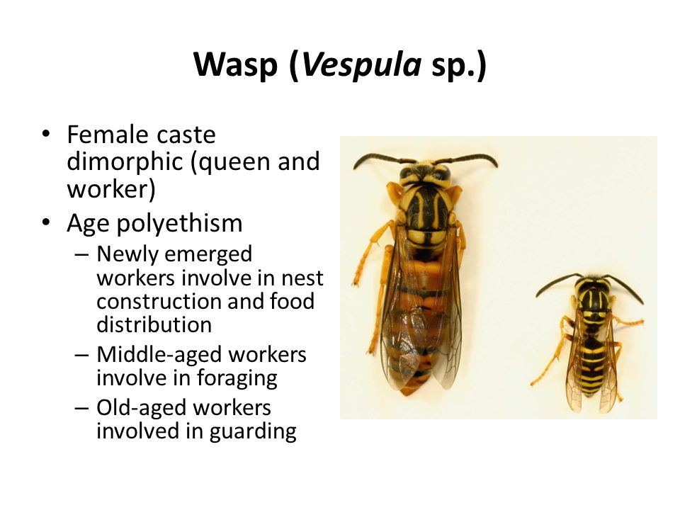 Wasp (Vespula sp.) Female caste dimorphic (queen and worker) Age polyethism – Newly emerged workers involve in nest construction and food distribution