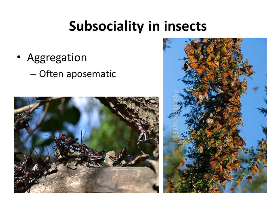 Parental care – Without nesting (Belostomatidae example) – With solitary nesting (Silphidae example) – With communal nesting (Sphecidae example) Nesting: eggs are laid in a pre-existing or newly constructed structure to which the parents being food supplies for the young Subsociality in insects