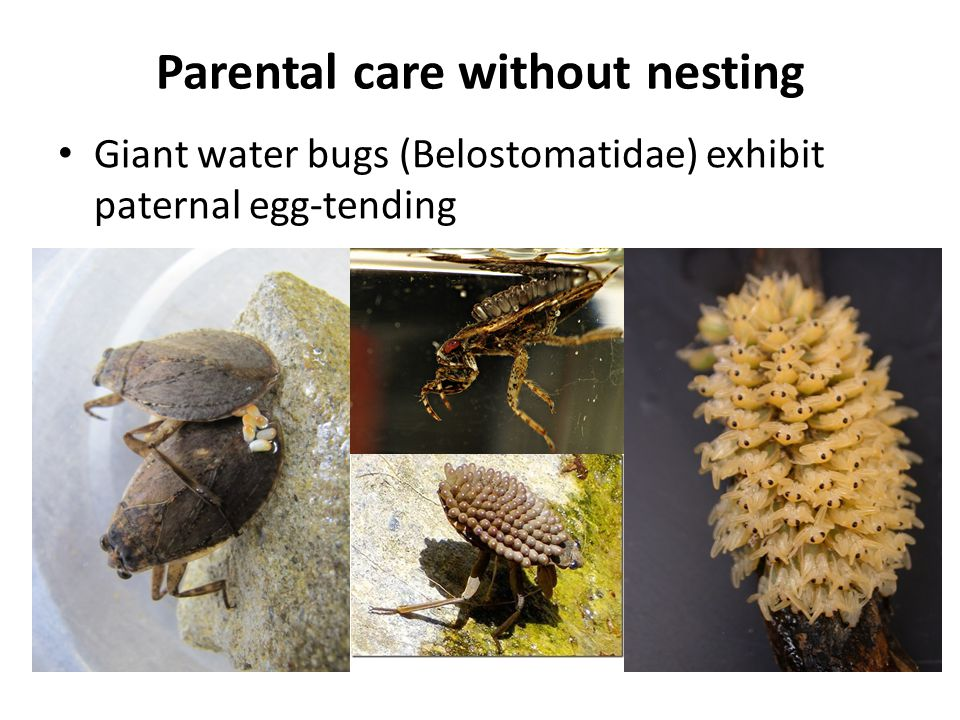 Parental care with solitary nesting Carrion beetles (Silphidae: Nicrophorus) display extended biparental care of young and reproductive cooperation between the sexes
