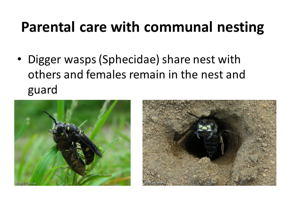 Parental care with communal nesting Digger wasps (Sphecidae) share nest with others and females remain in the nest and guard