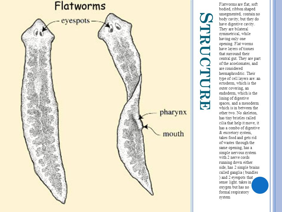 S TRUCTURE Flatworms are flat, soft bodied, ribbon shaped unsegmented, contain no body cavity, but they do have digestive cavity. They are bilateral s