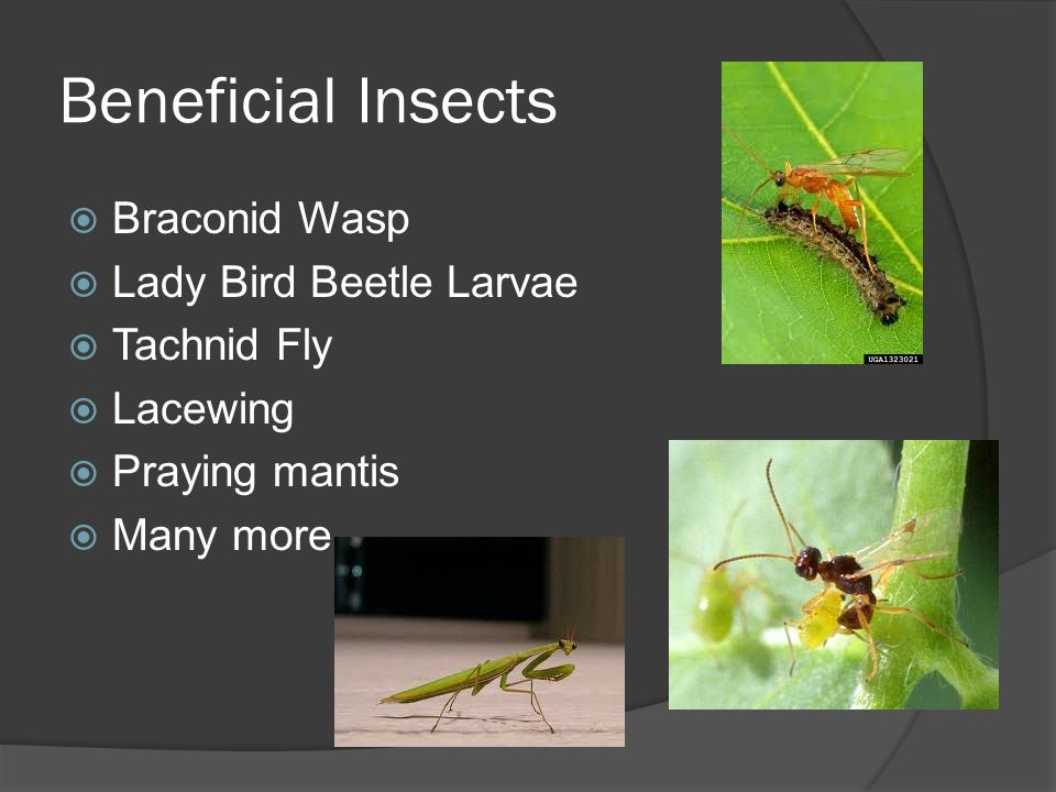 Beneficial Insects Braconid Wasp Lady Bird Beetle Larvae Tachnid Fly Lacewing Praying mantis Many more