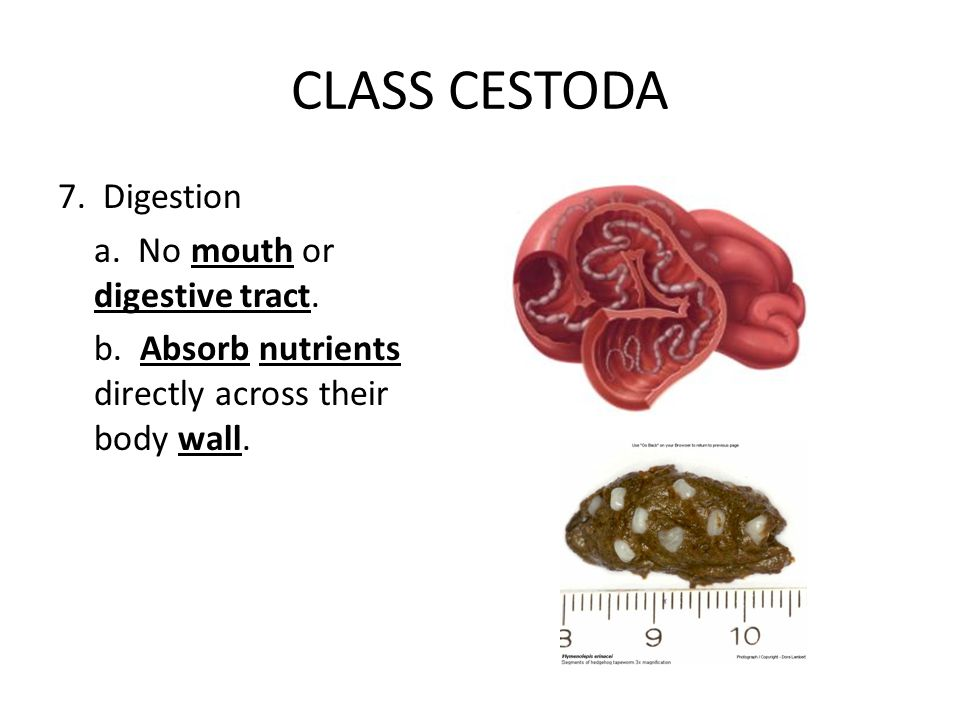 CLASS CESTODA 7. Digestion a. No mouth or digestive tract. b. Absorb nutrients directly across their body wall.