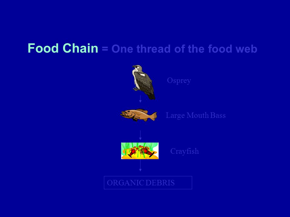 Food Chain = One thread of the food web ORGANIC DEBRIS Osprey Large Mouth Bass Crayfish