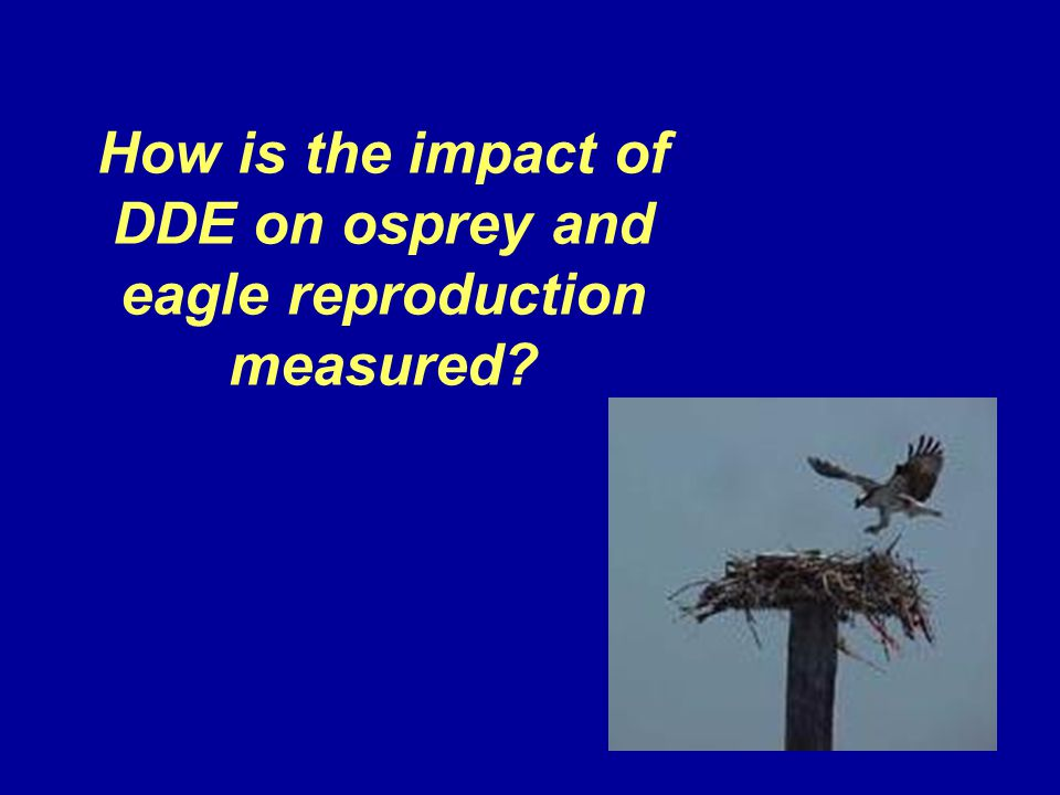 How is the impact of DDE on osprey and eagle reproduction measured?
