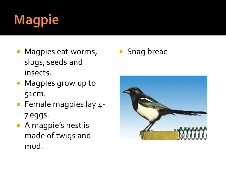 Magpies eat worms, slugs, seeds and insects. Magpies grow up to 51cm.