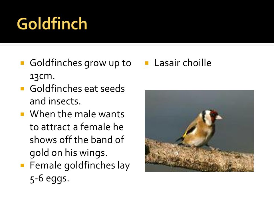 Goldfinches grow up to 13cm. Goldfinches eat seeds and insects.
