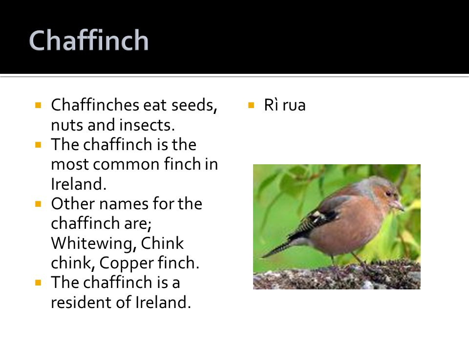 Chaffinches eat seeds, nuts and insects. The chaffinch is the most common finch in Ireland.