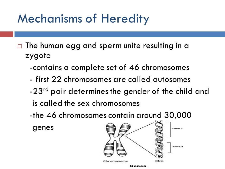 Mechanisms of Heredity The 23 rd Pair of Chromosomes -Males carry XY Chromosomes -X from mother and Y from father -Females carry XX chromosomes -X from mother and X from father