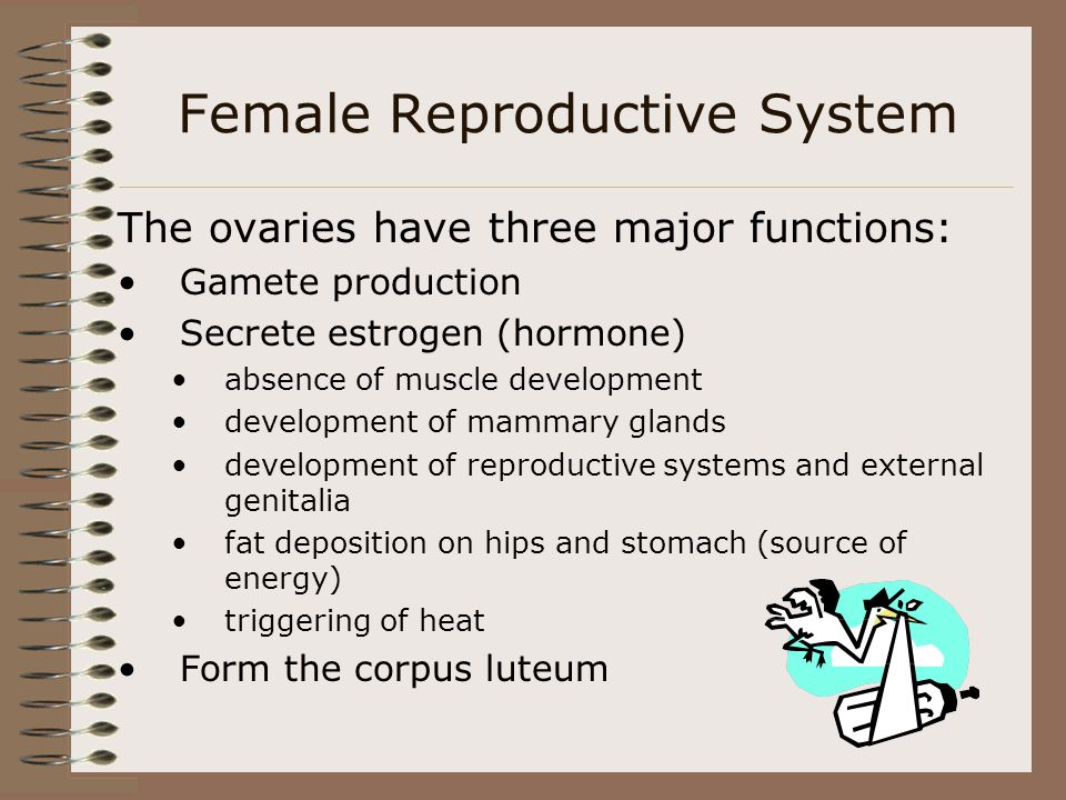 The ovaries have three major functions: Gamete production Secrete estrogen (hormone) absence of muscle development development of mammary glands devel