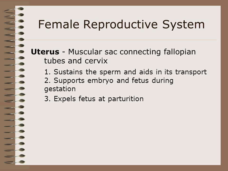 Uterus - Muscular sac connecting fallopian tubes and cervix 1. Sustains the sperm and aids in its transport 2. Supports embryo and fetus during gestat