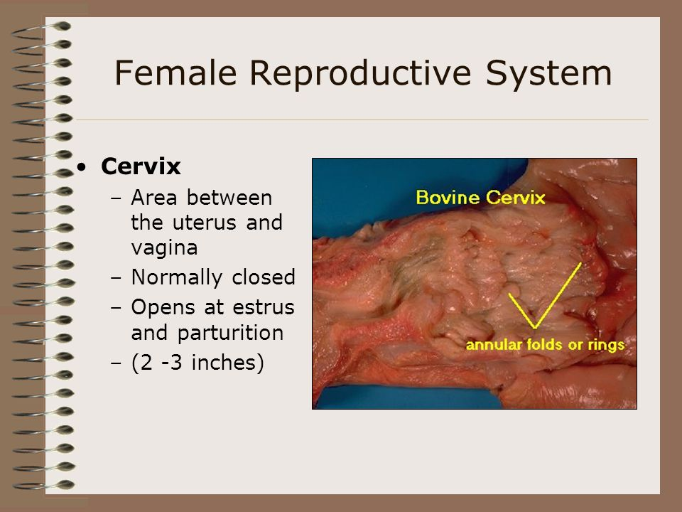 Female Reproductive System Cervix –Area between the uterus and vagina –Normally closed –Opens at estrus and parturition –(2 -3 inches)