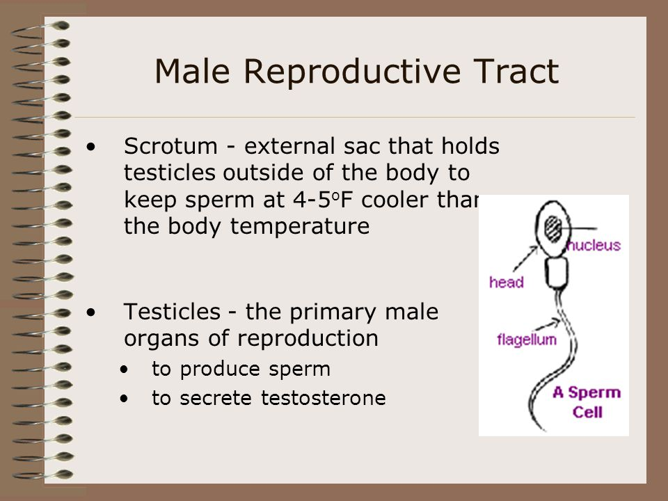 Scrotum - external sac that holds testicles outside of the body to keep sperm at 4-5 o F cooler than the body temperature Testicles - the primary male