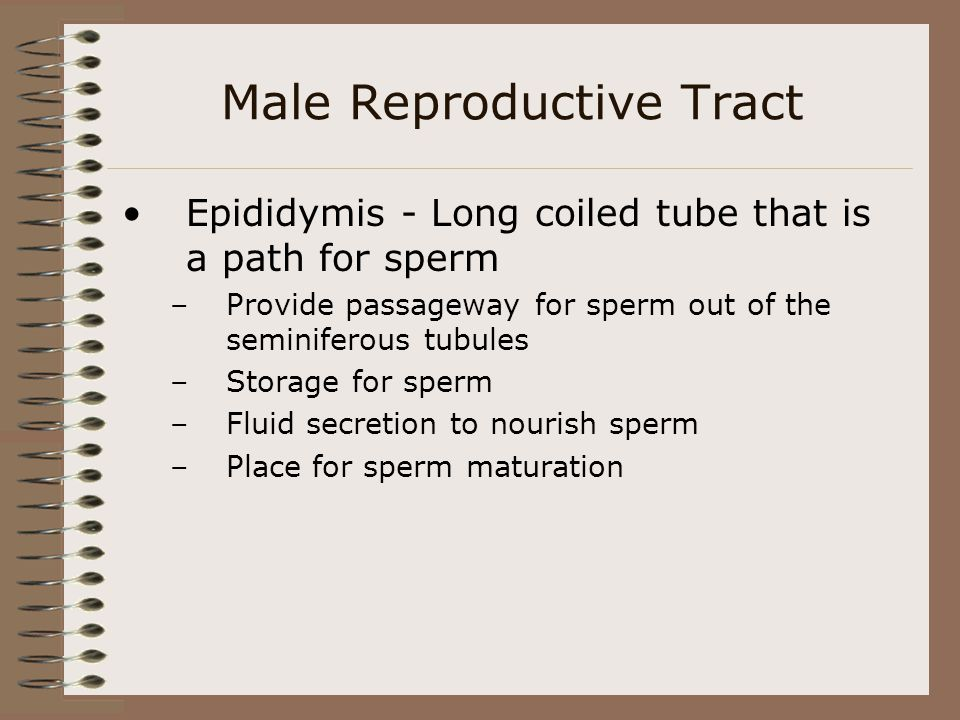 Male Reproductive Tract Epididymis - Long coiled tube that is a path for sperm –Provide passageway for sperm out of the seminiferous tubules –Storage