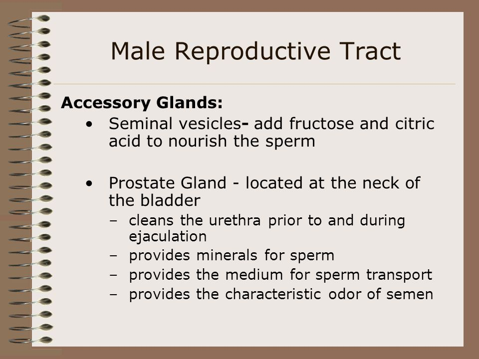 Male Reproductive Tract Accessory Glands: Seminal vesicles- add fructose and citric acid to nourish the sperm Prostate Gland - located at the neck of