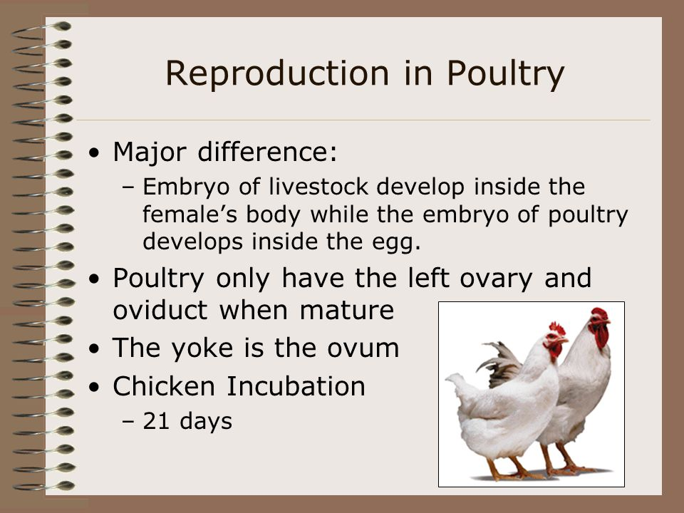 Reproduction in Poultry Major difference: –Embryo of livestock develop inside the females body while the embryo of poultry develops inside the egg. Po