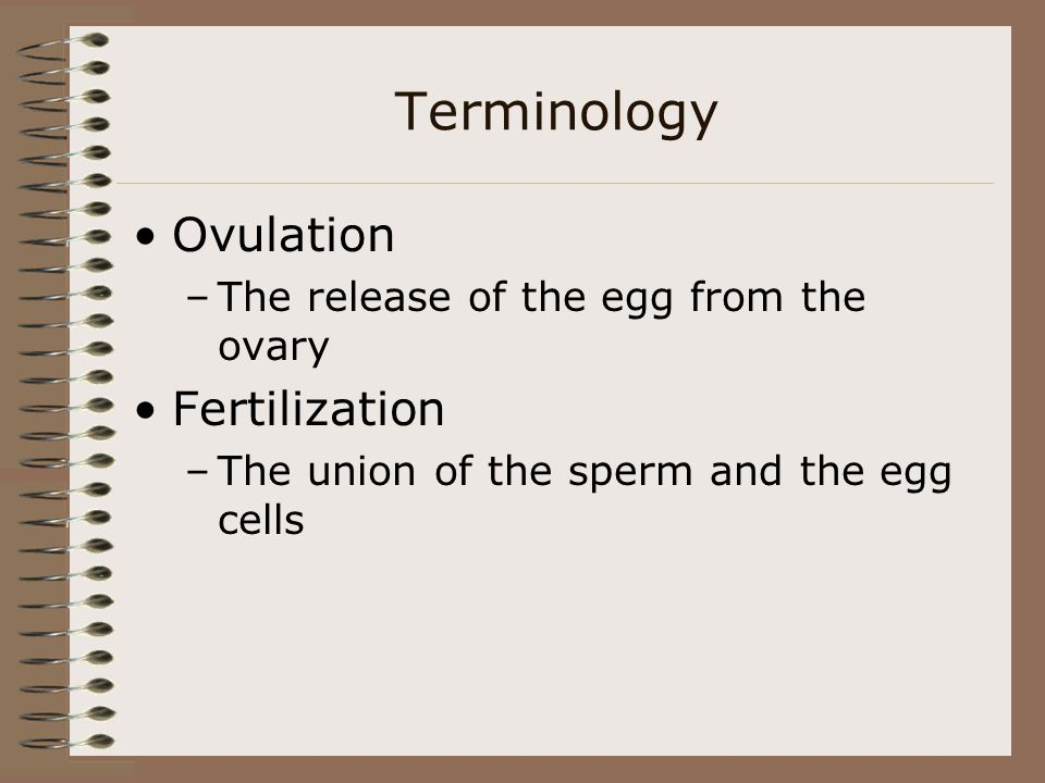 Terminology Ovulation –The release of the egg from the ovary Fertilization –The union of the sperm and the egg cells
