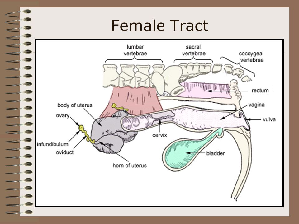 Female Tract