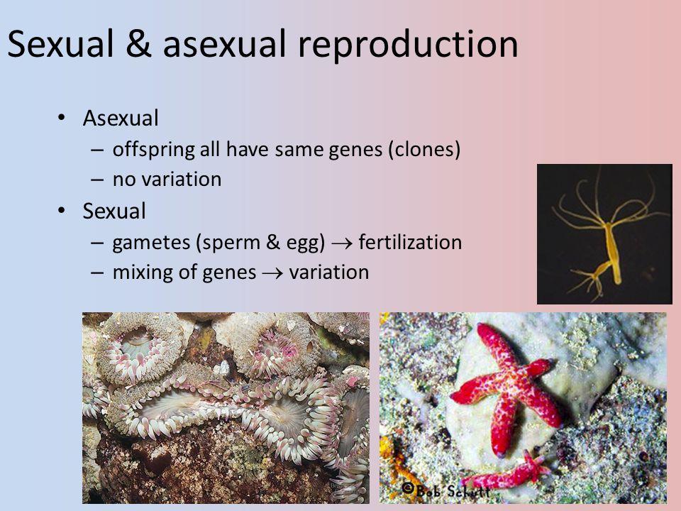 Spermatogenesis Epididymis Testis Coiled seminiferous tubules Vas deferens Cross-section of seminiferous tubule Spermatozoa Spermatids (haploid) 2° spermatocytes (haploid) 1° spermatocyte (diploid) Germ cell (diploid) MEIOSIS II MEIOSIS I