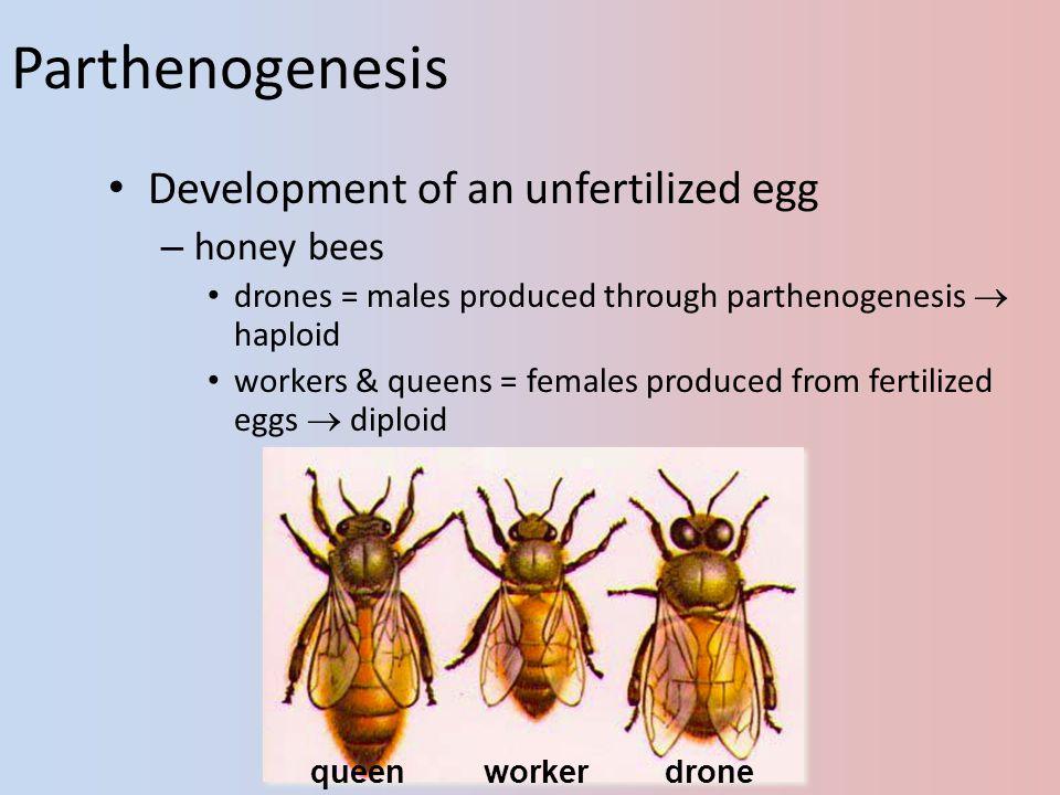 2005-2006 Parthenogenesis Development of an unfertilized egg – honey bees drones = males produced through parthenogenesis haploid workers & queens = females produced from fertilized eggs diploid queenworkerdrone