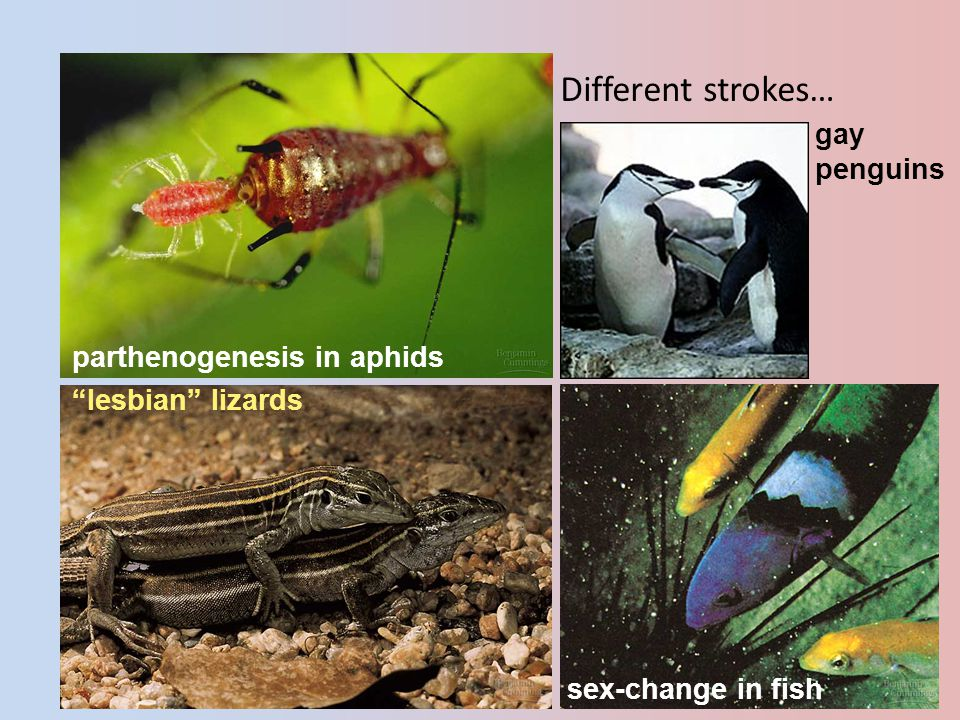 2005-2006 Different strokes… parthenogenesis in aphids lesbian lizards sex-change in fish gay penguins