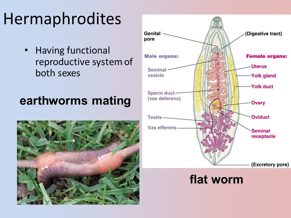 Hermaphrodites flat worm earthworms mating Having functional reproductive system of both sexes