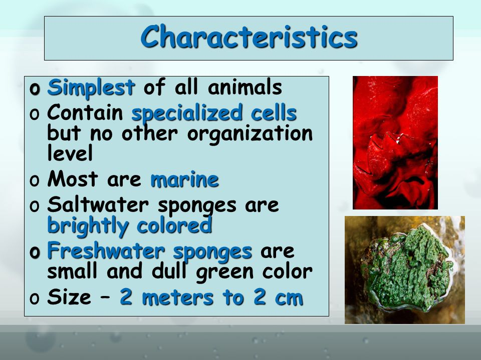 Characteristics oSimplest oSimplest of all animals specialized cells oContain specialized cells but no other organization level marine oMost are marine brightly colored oSaltwater sponges are brightly colored oFreshwater sponges oFreshwater sponges are small and dull green color 2 meters to 2 cm oSize – 2 meters to 2 cm