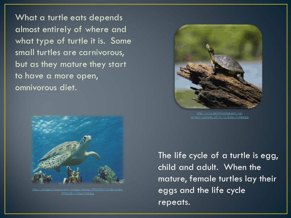 What a turtle eats depends almost entirely of where and what type of turtle it is.