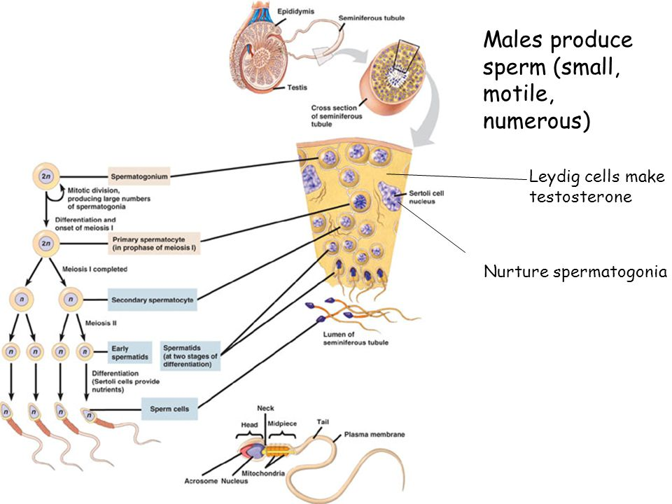 Males produce sperm (small, motile, numerous) Leydig cells make testosterone Nurture spermatogonia