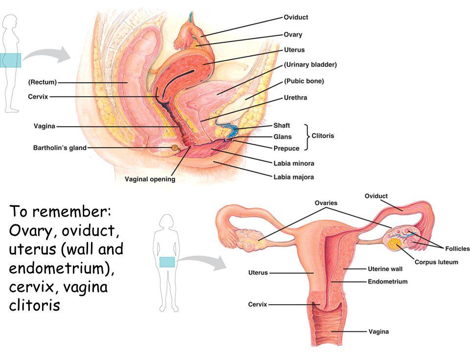 To remember: Ovary, oviduct, uterus (wall and endometrium), cervix, vagina clitoris