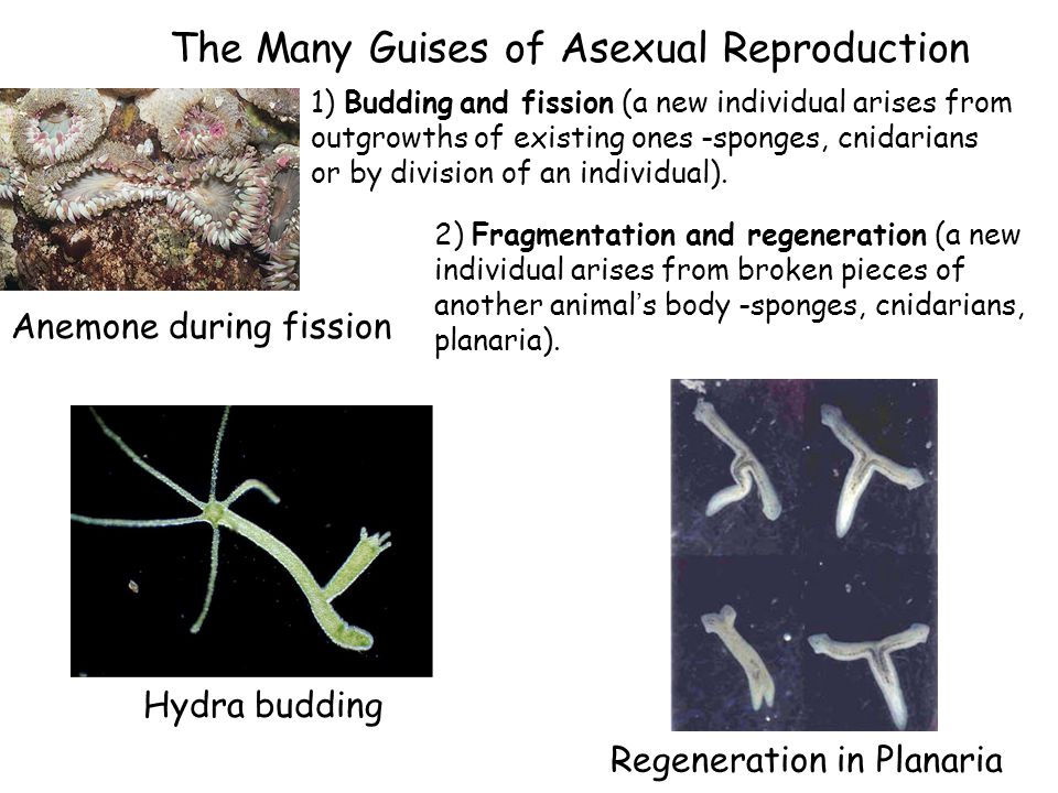 The Many Guises of Asexual Reproduction 1) Budding and fission (a new individual arises from outgrowths of existing ones -sponges, cnidarians or by di