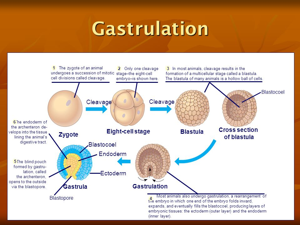 Gastrulation Zygote Cleavage Eight-cell stage Cleavage Blastula Cross section of blastula Blastocoel Gastrula Gastrulation Endoderm Ectoderm Blastopore In most animals, cleavage results in the formation of a multicellular stage called a blastula.