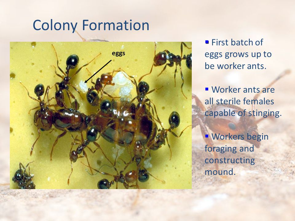 First batch of eggs grows up to be worker ants. Worker ants are all sterile females capable of stinging. Workers begin foraging and constructing mound