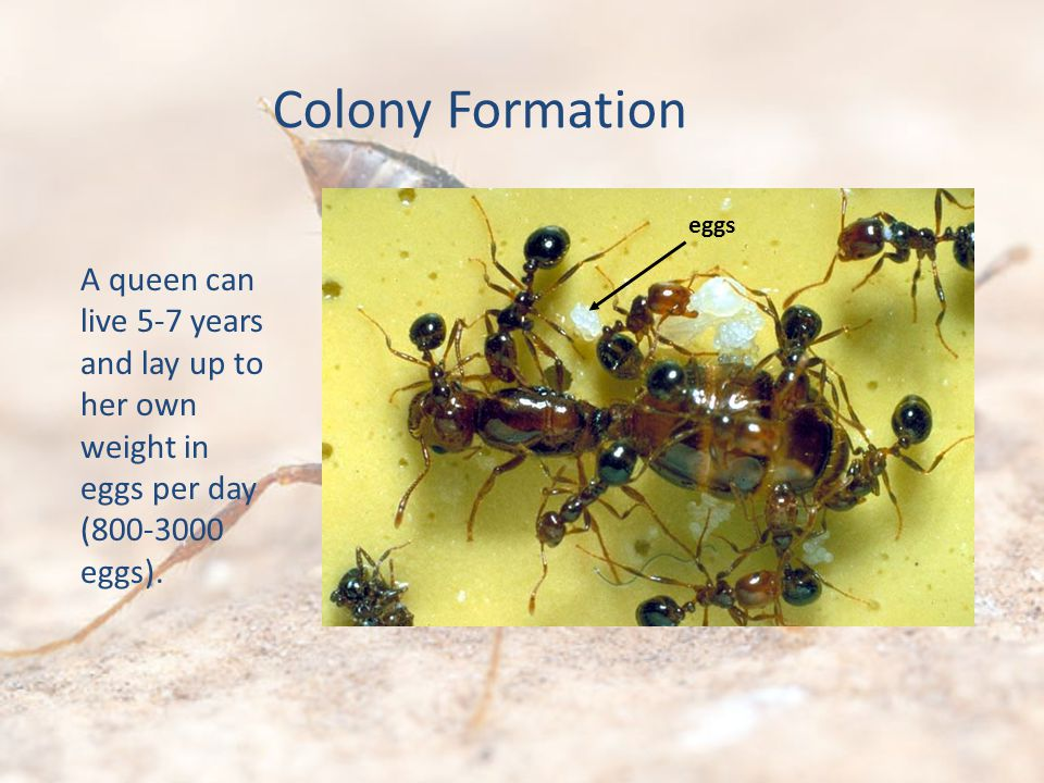 A queen can live 5-7 years and lay up to her own weight in eggs per day (800-3000 eggs).
