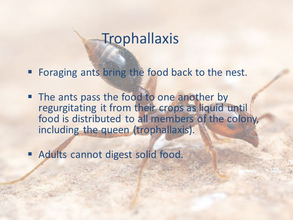 Trophallaxis Foraging ants bring the food back to the nest. The ants pass the food to one another by regurgitating it from their crops as liquid until